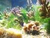 Barben, Korallen