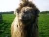 Altes Kamel