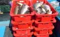fischkisten-voll-mit-pollacks