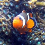 Clownfisch (C) MaBoXer
