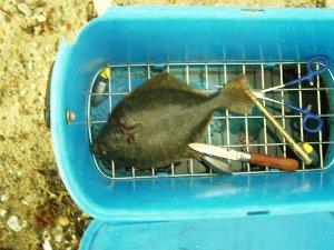 Plattfisch, Flunder, Platte im Fischeimer