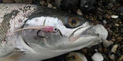 Meerforelle oder Lachs richtig erkennen