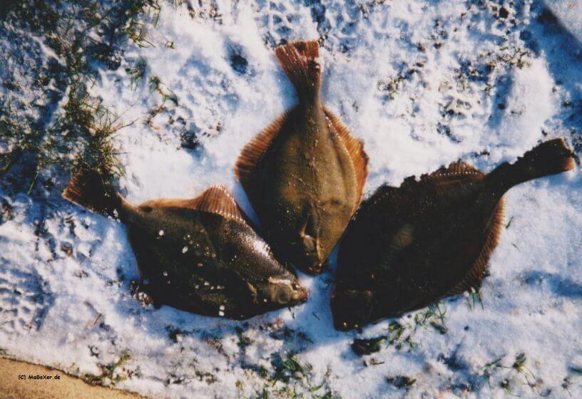 Plattfische